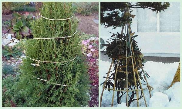 Обмотка шнуром или ограждение из деревянных палок – элементы укрытия для всех хвойных растений