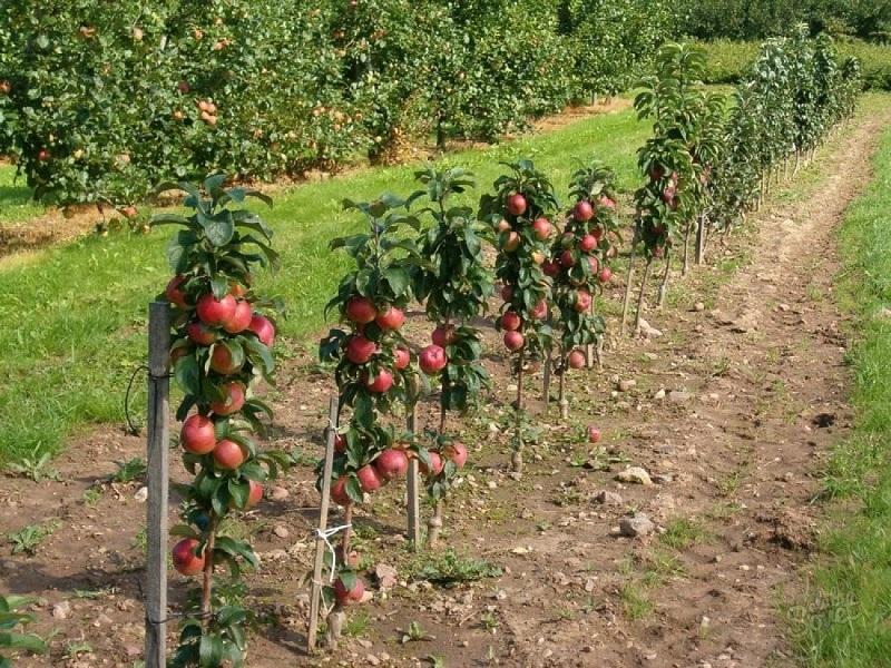 От чего зависит, когда сажать саженцы яблони?