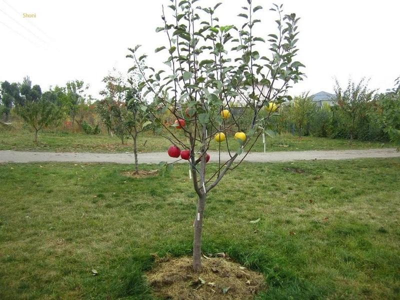 Уход и выращивание яблонь 55