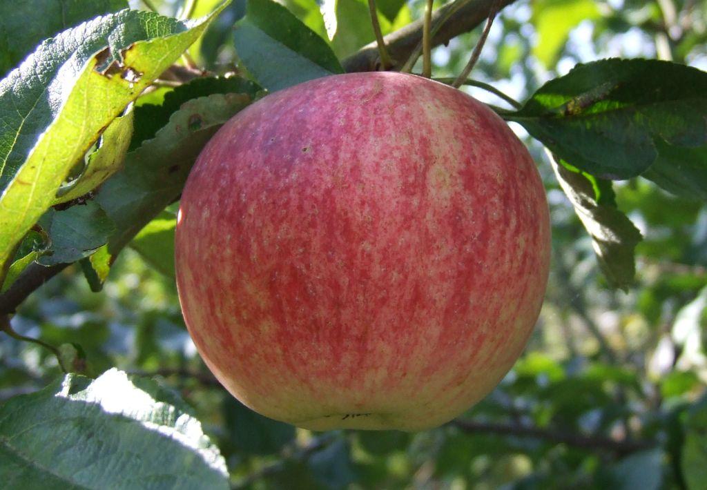 Сорт яблони Подарок Графскому 27