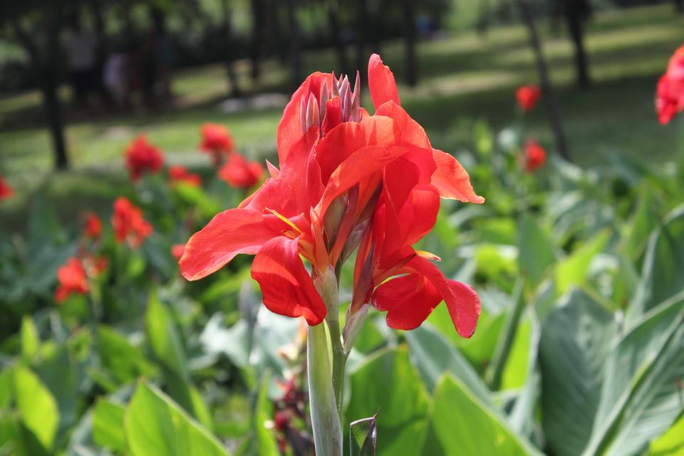 Цветок кана