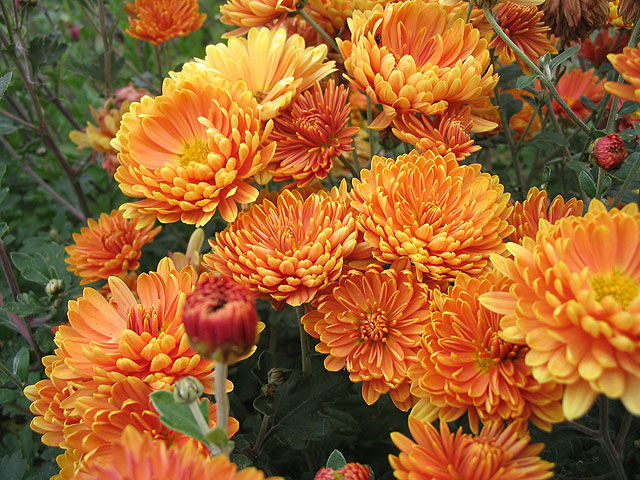 Хризантема Chrysanthemum Ausma