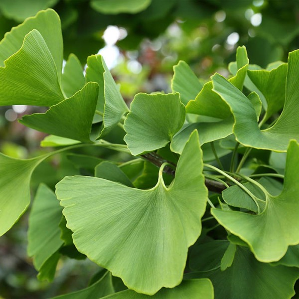 significance of ginkgo biloba essay Ginkgo biloba, a hardy tree commonly found along city streets, is considered a living fossil it is closely related to prehistoric ancestors, but has no relatives today it is closely related to prehistoric ancestors, but has no relatives today.