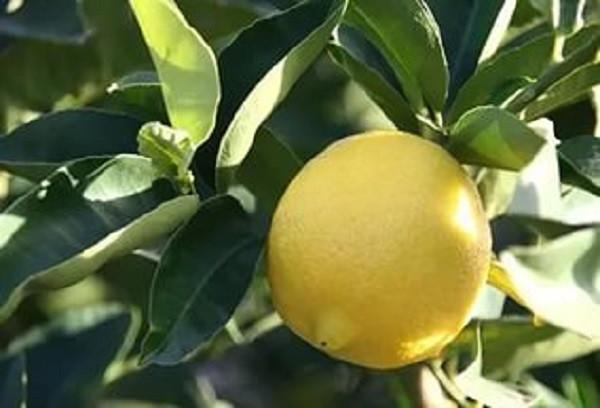 Лимон Citrus limon Dolce del Brasile