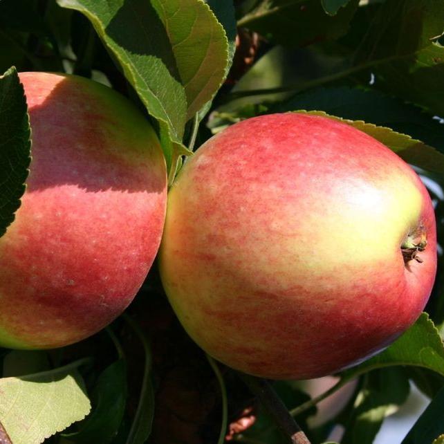 краснодарских каннибалов яблоня слава победителям описание фото отзывы резанные кручёные