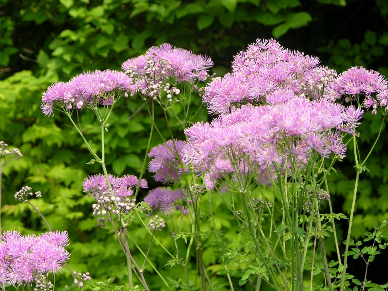 цветы цветущие в мае фото и название возрождении