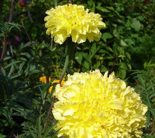 Бархатцы Tagetes Lemon Queen
