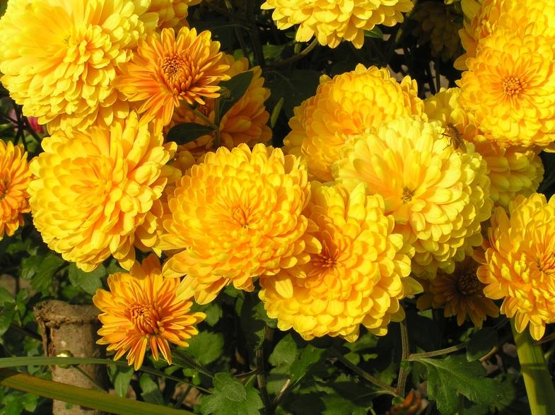 Открытки для, картинки осень цветы золотая