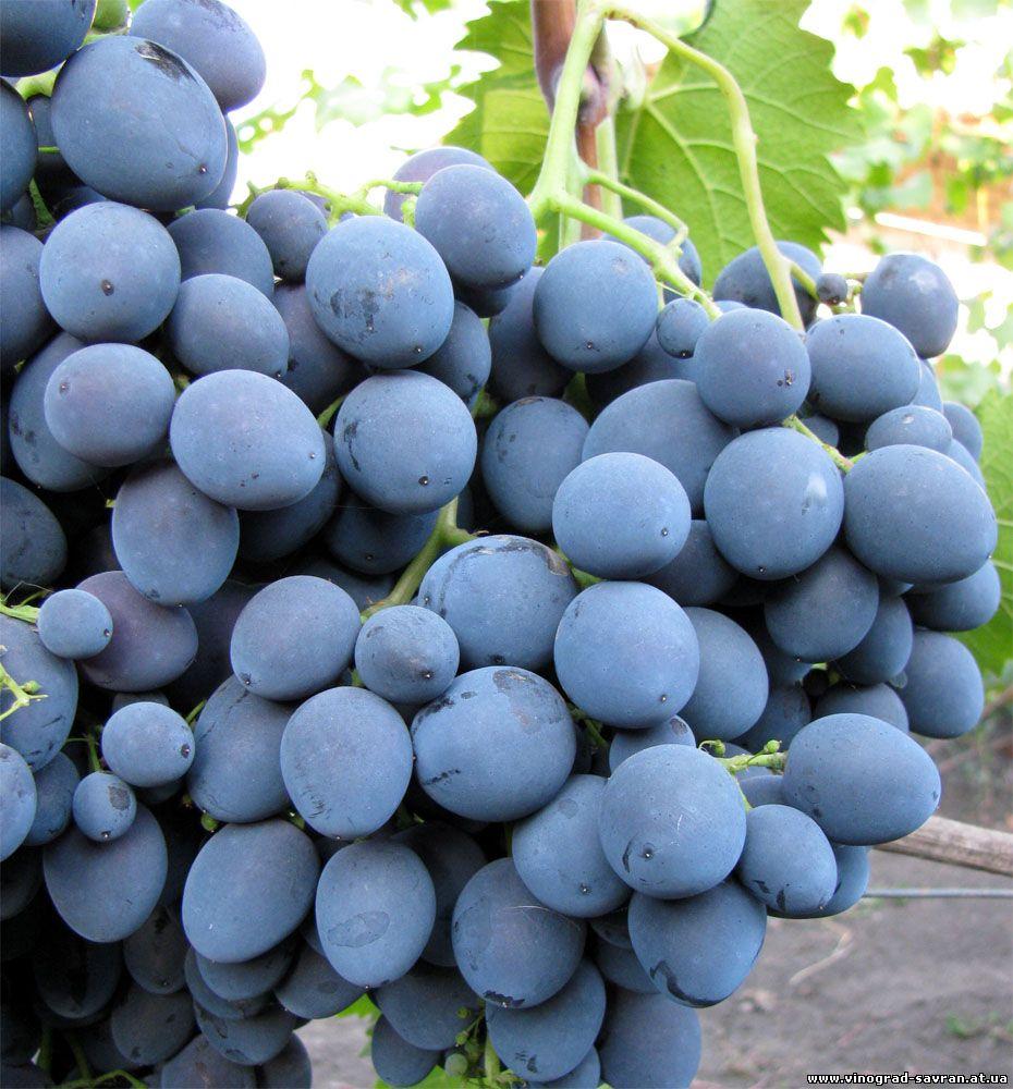 страшенский виноград фото