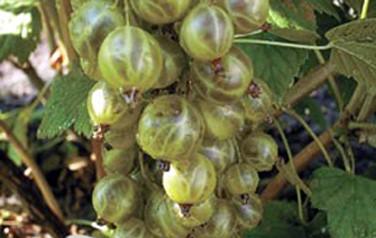 всем вопросам смородина золото инков зеленая поможет
