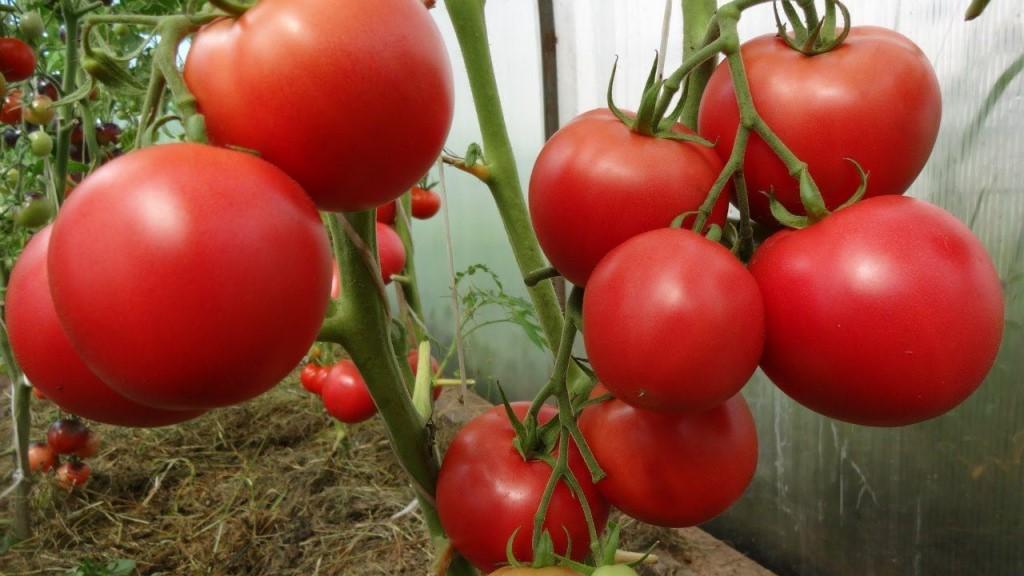 купить семена помидор в ростове