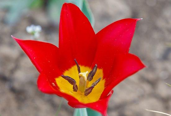 Лазорики цветы что это за цветок