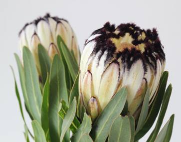 Protea  White Head