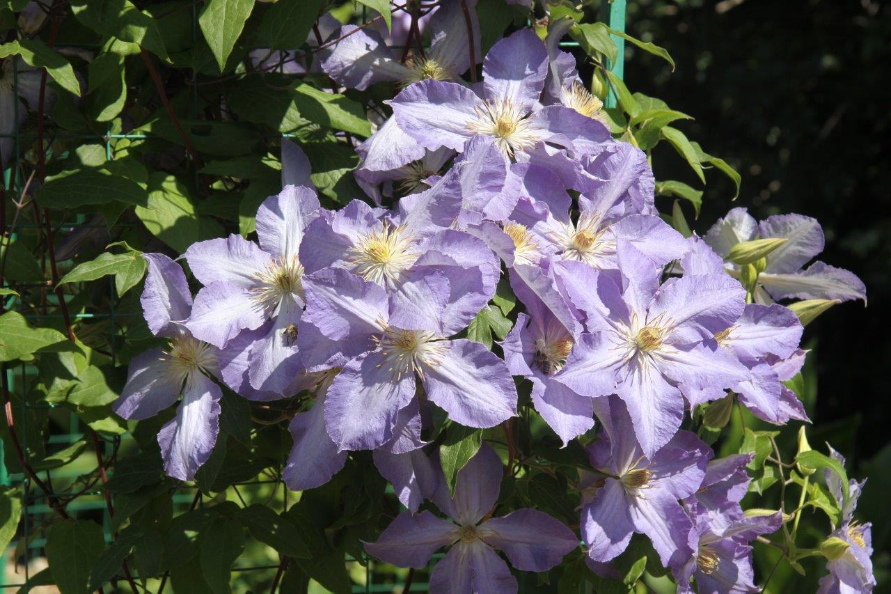 Букеты, цветы клематис купить харьков