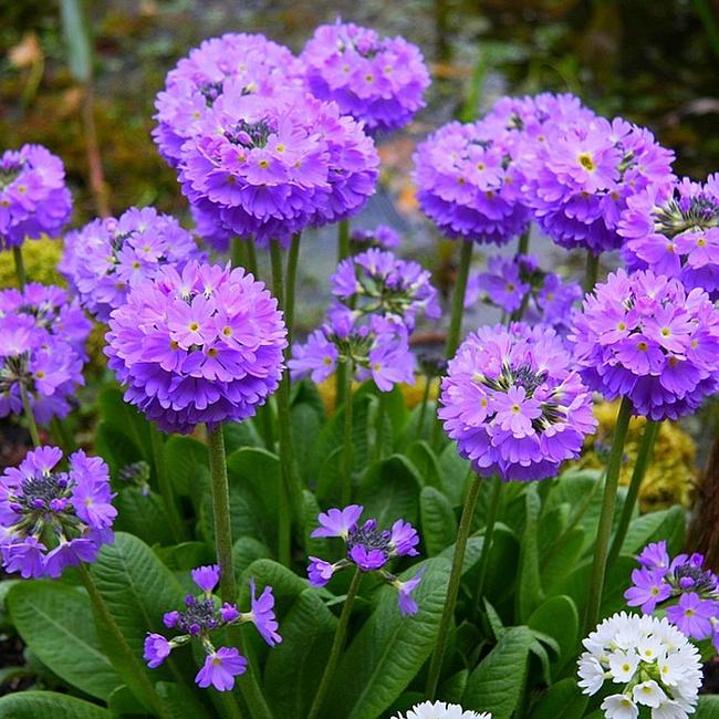 оби семена цветов каталог многолетние
