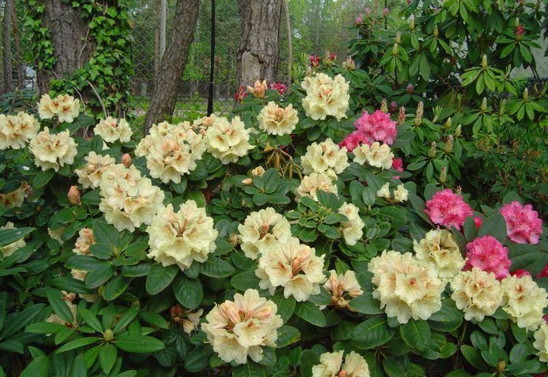 Рододендрон голд букет отзывы, цветок подарок