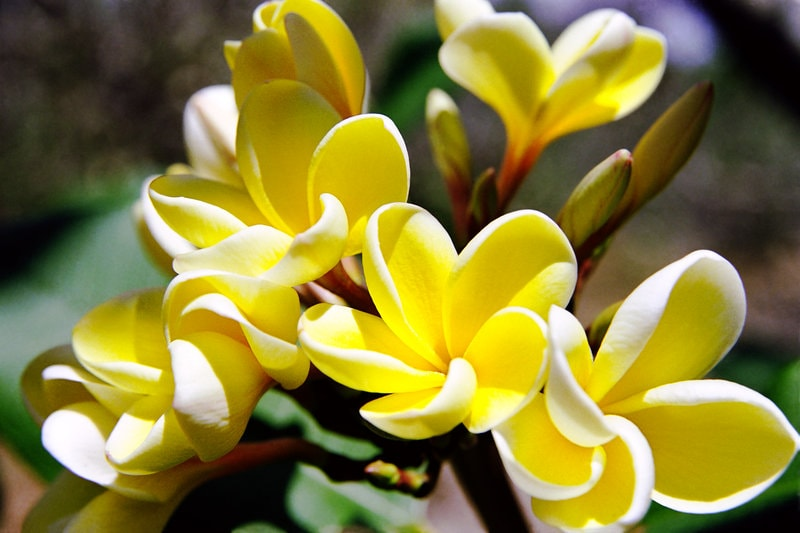Плюмерия Plumeria Super Yellow