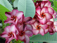 Плюмерия Plumeria Son Rose Red Uriel