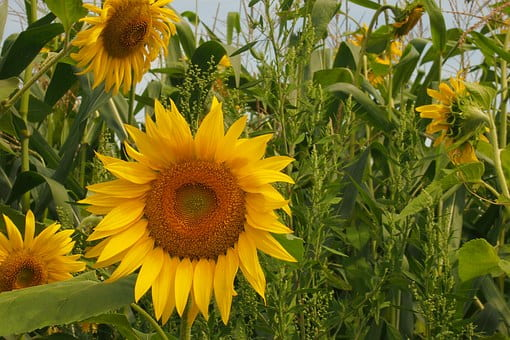 жолтые цветы похожие на подсолнух ПМР минимальном