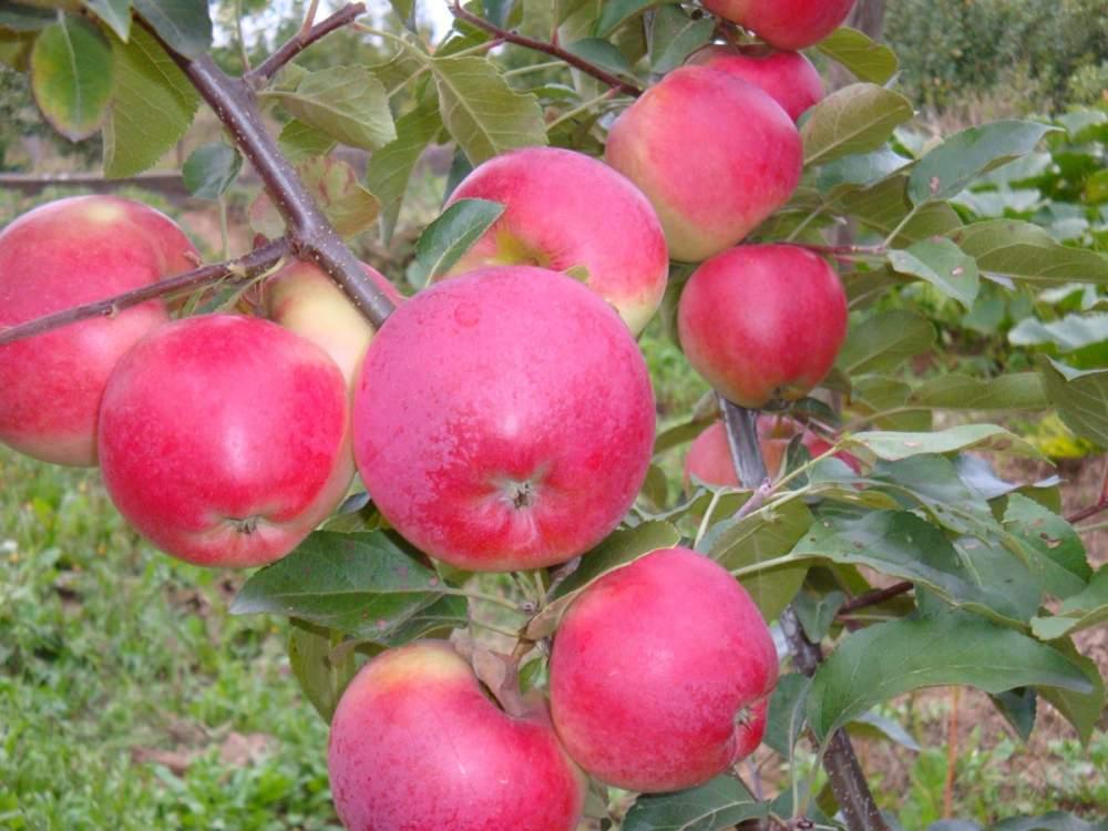 запах купить саженцы яблонь в беларуси оптом Водолей