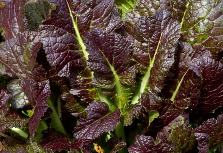 red giant mustard - HD 1600×1064