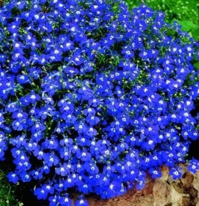 Фото цветов синего цвета низкорослых