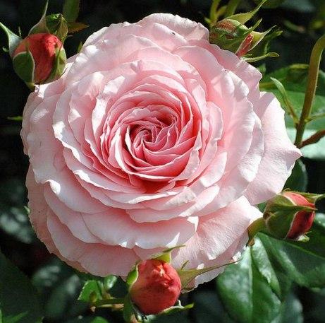 Роза секси рекси или хекенцаубер