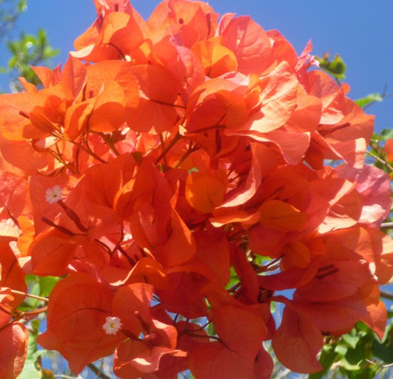Bougainvillea (бумажный цветок) Bottle Brush Orange