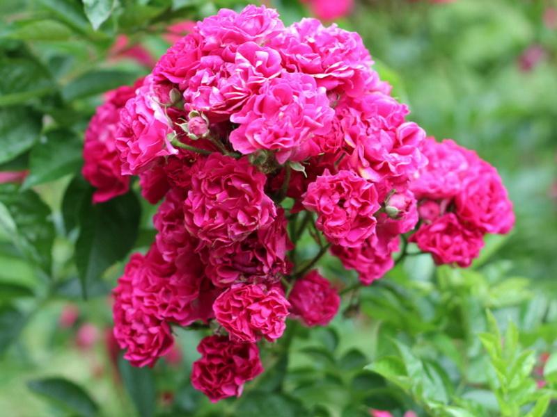 домашнего роза рамблер розового цвета фото возникновения этого праздника