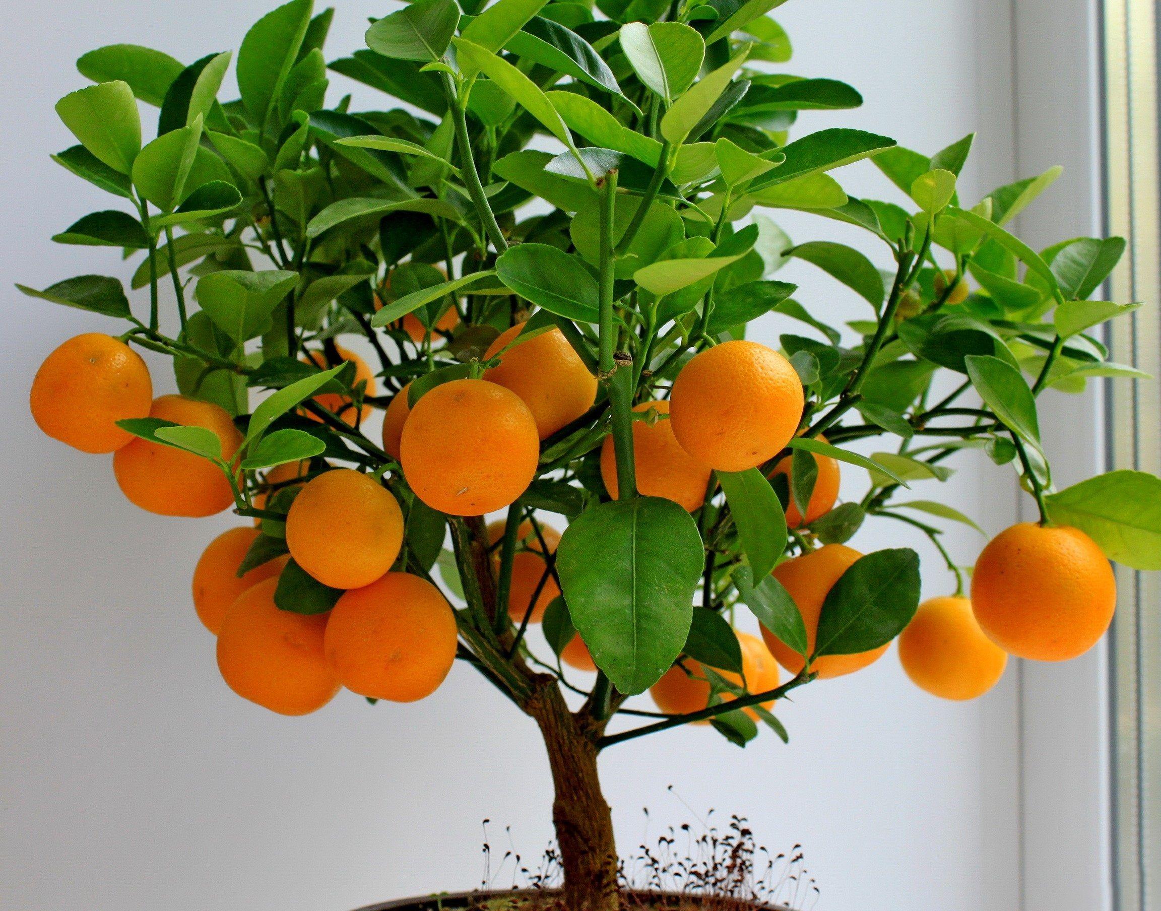 Апельсин выращивание в домашних условиях из косточки 131