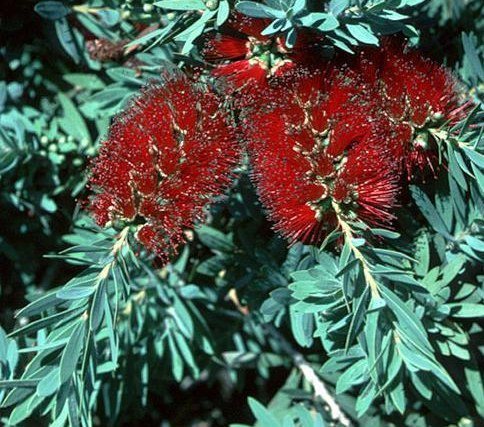 Каллистемон Callistemon Little John