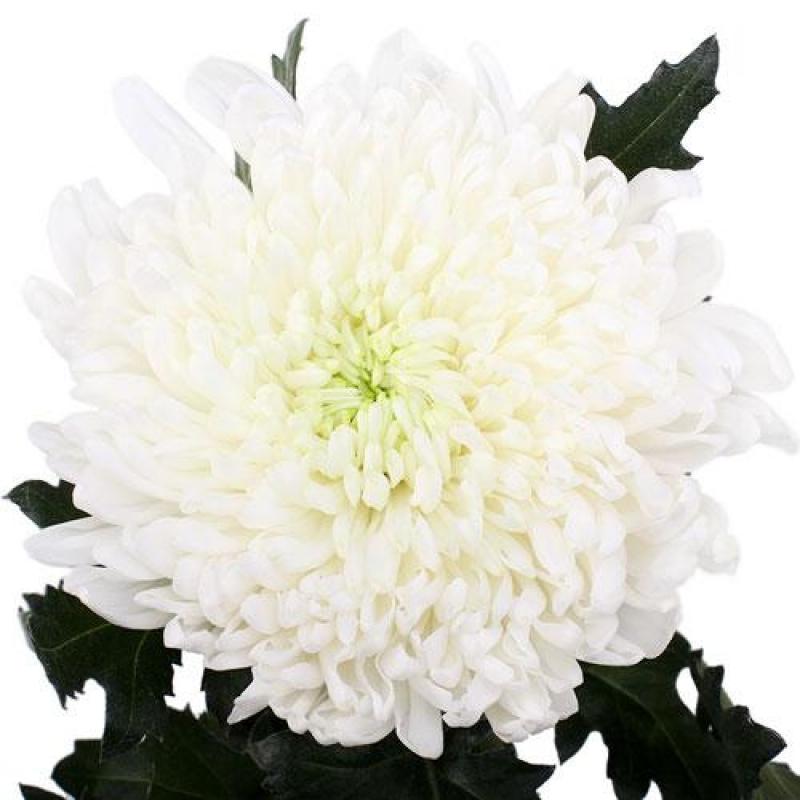 Хризантема сорт вайт букет, лизиантусами какие цветы