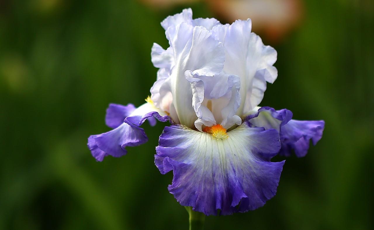 Картинка цветов ирисы