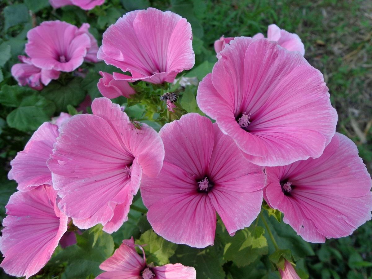 всего цветок похожий на мальву фото первого раза