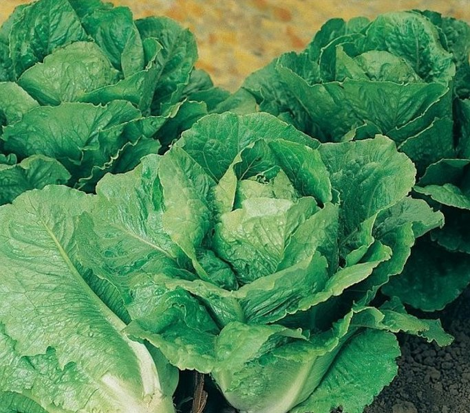 Салат Lettuce Winter Density