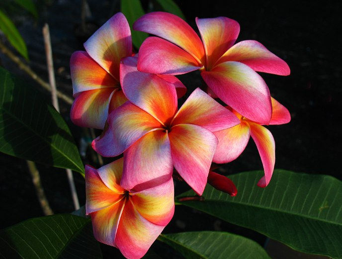 Плюмерия Plumeria Flames Of The Sun