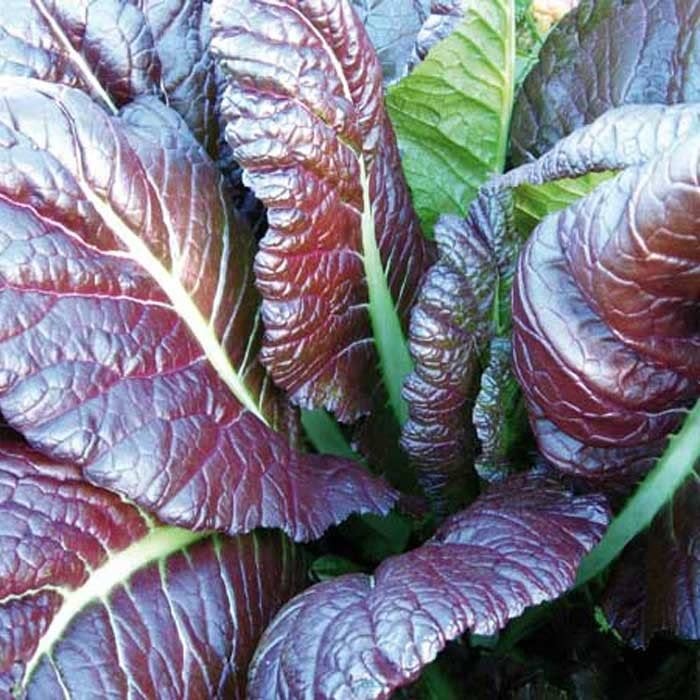 red giant mustard - 700×700