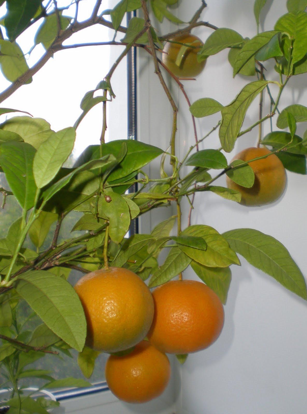 Клементин выращивание в домашних условиях 27