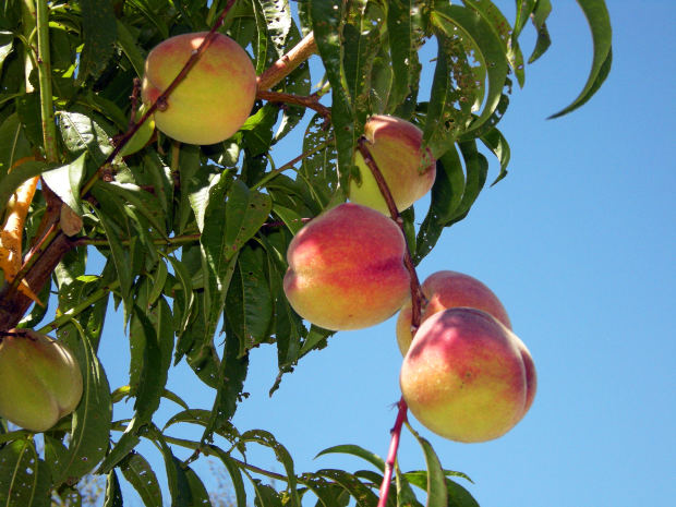 нектарин  Summer diamond