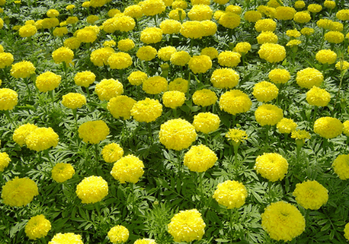 Бархатцы Tagetes Golden Fluffy