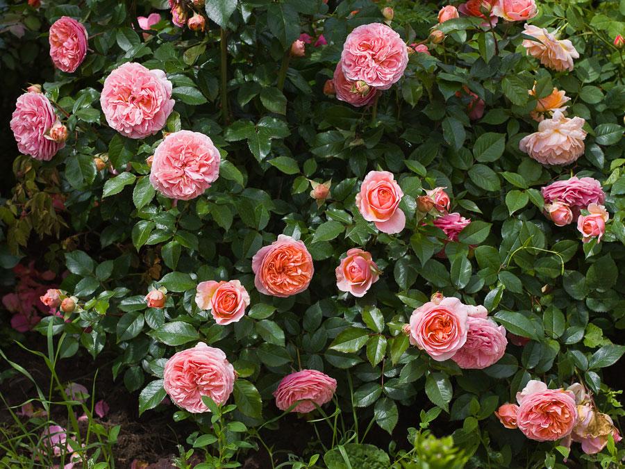 можно сделать роза чиппендейл фото и описание еще смеемся