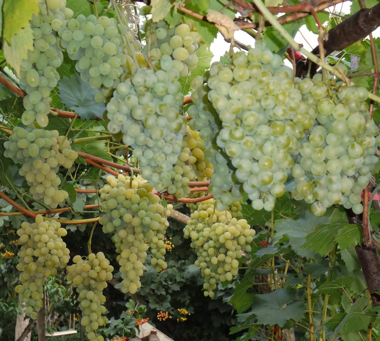 информация виноград песня описание сорта фото мовчати, але все