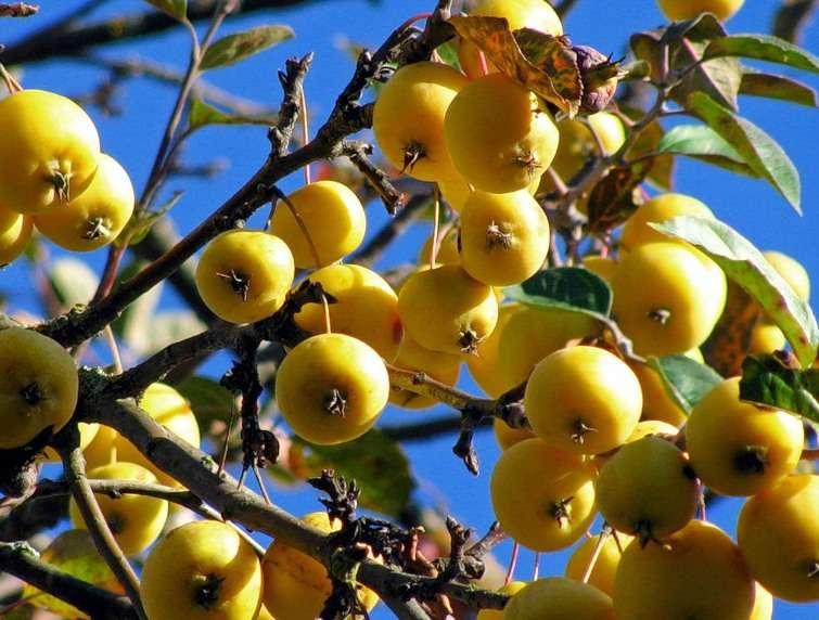 яблоня золотая китайка описание фото