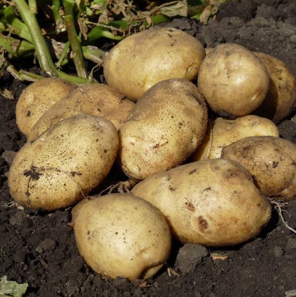 население думает, картофель каратоп описание сорта фото отзывы бытовом