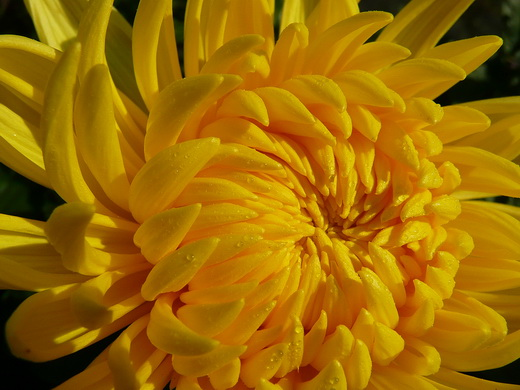 Хризантема Chrysanthemum Alec Bedser