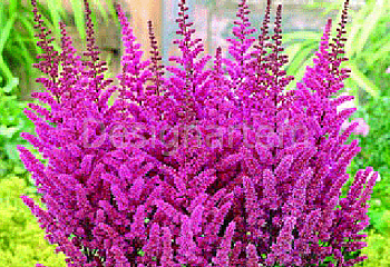 Астильба Astilbe Purple Glory