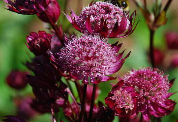 Астранция Astrantia Rubbi vedding