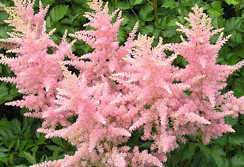 Астильба Astilbe Elizabeth Bloom