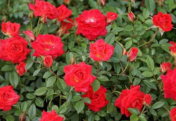 Бордюрные розы купить в москве как выбрать духи мужчине в подарок