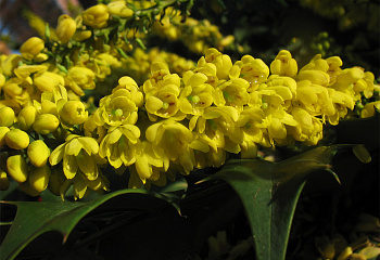 Магония Mahonia Lionel Fortescue